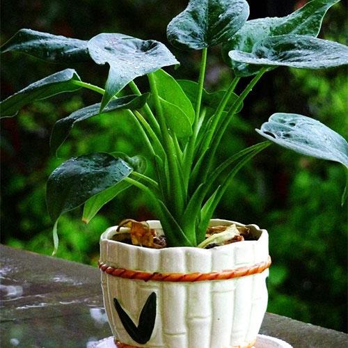 室内植物-滴水观音