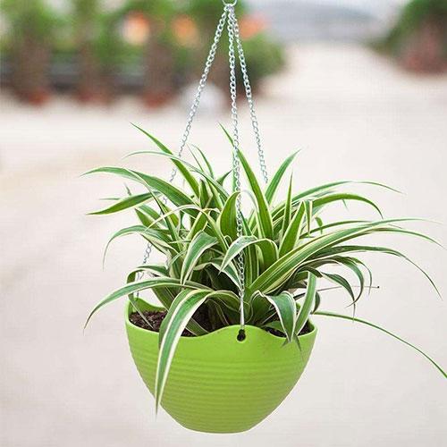 室内植物-吊兰