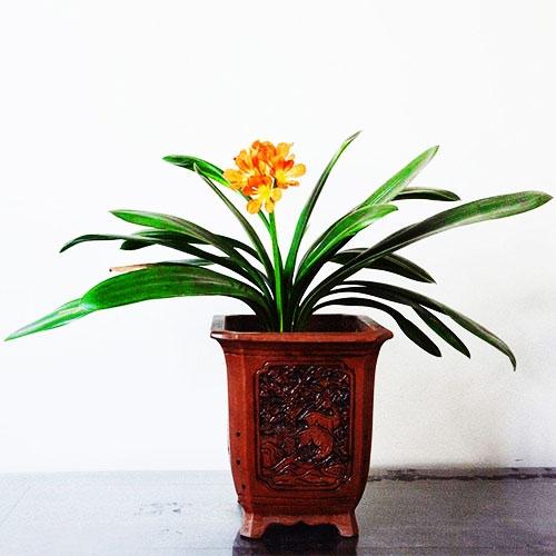 室内植物-君子兰