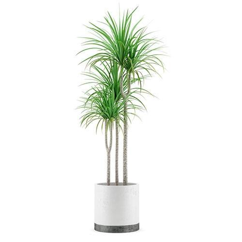 室内植物-龙血树