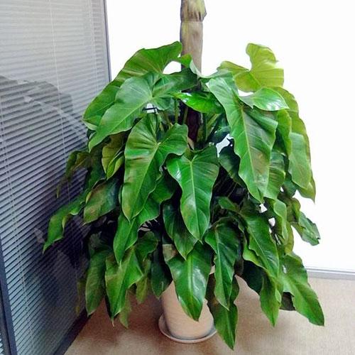 室内植物-绿宝石
