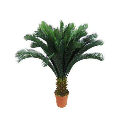 室内植物-铁树