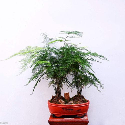 室内植物-文竹