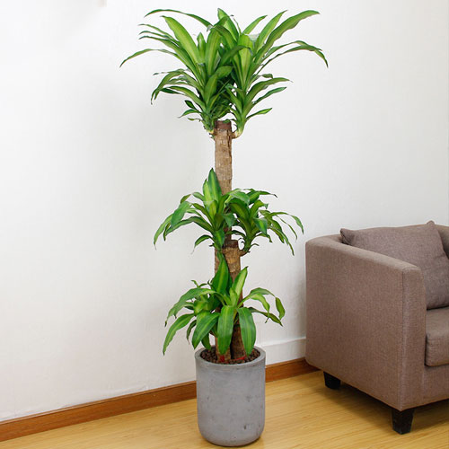 巴西木【植物租摆】