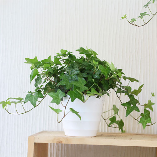 常青藤【植物租赁】