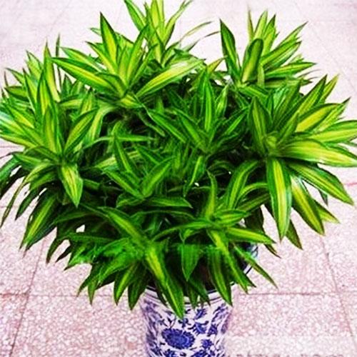 百合竹子【植物租摆】