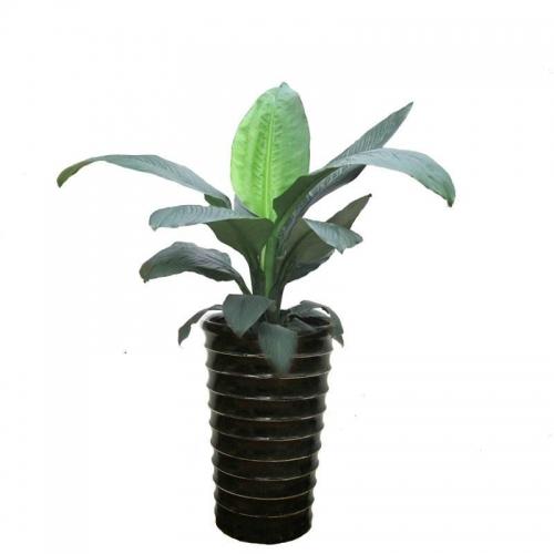 绿巨人【植物租摆】
