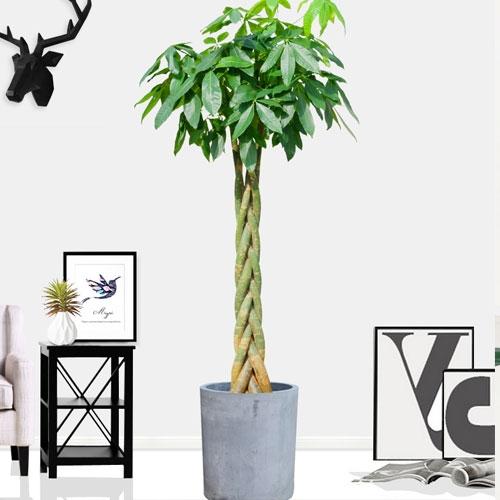 发财树【植物租摆】