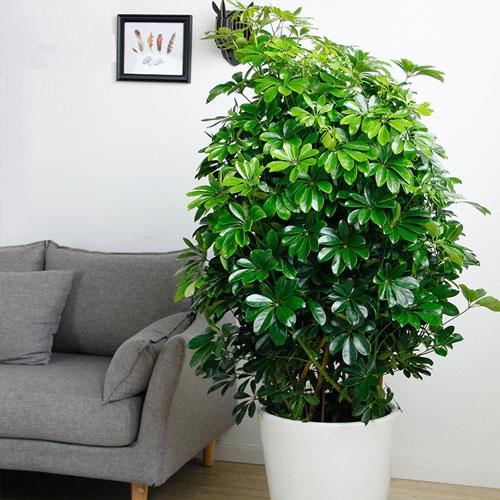 鸭脚木【植物租摆】