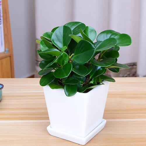 豆瓣绿【植物租赁】
