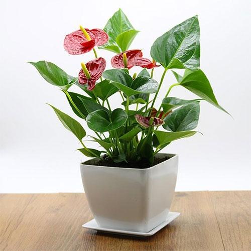红掌【植物租赁】