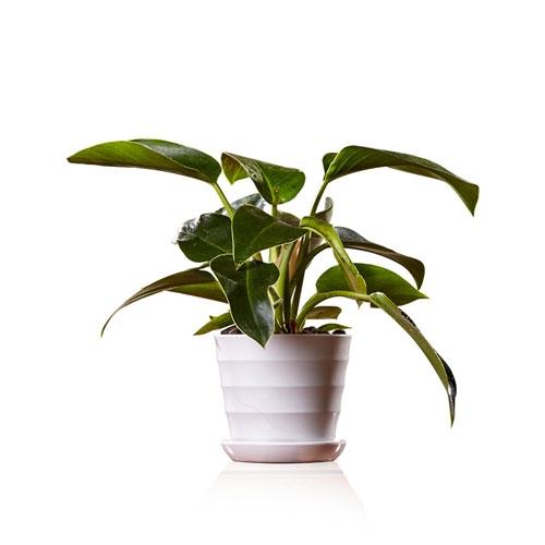 金钻【植物租赁】
