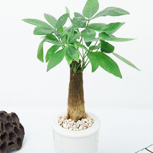 小发财树【植物租赁】