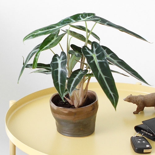 小仙女【植物租赁】