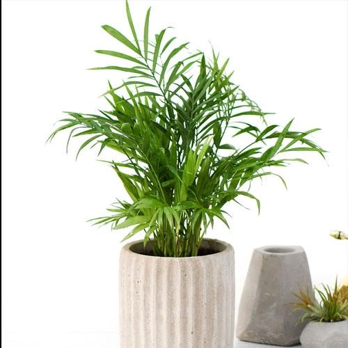 袖珍椰子【植物租赁】