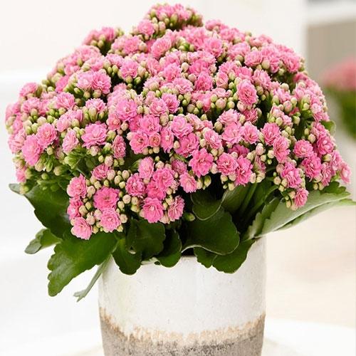 长寿花【植物租赁】